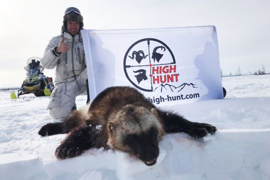 Hunting to wolverine in Russia